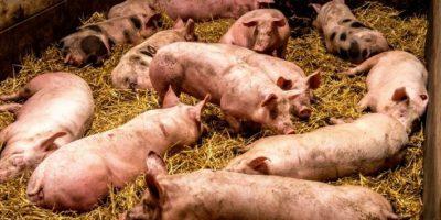 Dos jóvenes investigados en España por matar más de 70 cerdos por diversión