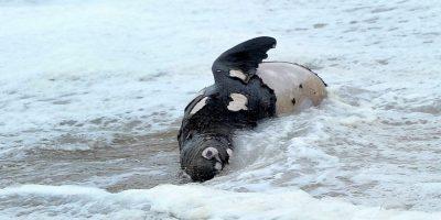 Las otras víctimas: animales mueren producto de las marejadas