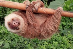 En tierra es un animal muy lento, sin embargo es muy ágil para moverse entre las ramas de los árboles donde vive. Foto:Vía facebook.com/ctecuador. Imagen Por: