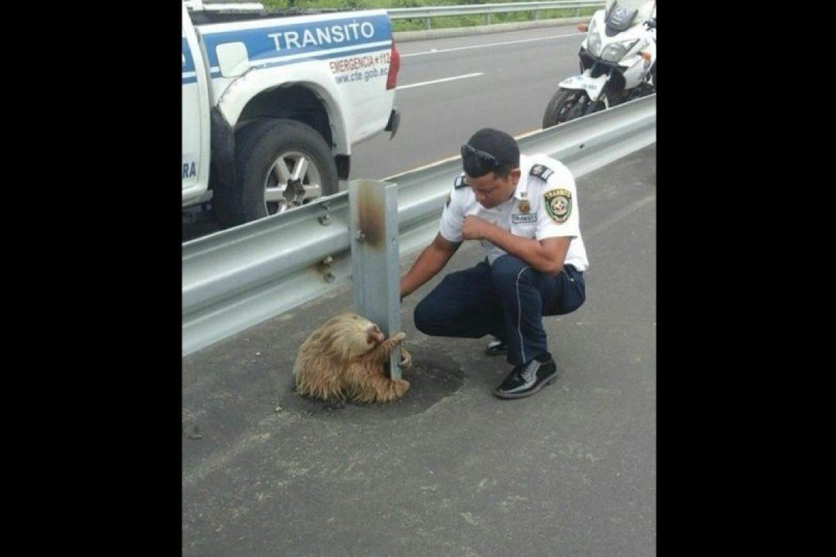 Se encuentran emparentados con los osos hormigueros, y más lejanamente, con los armadillos. Foto:Vía facebook.com/ctecuador. Imagen Por: