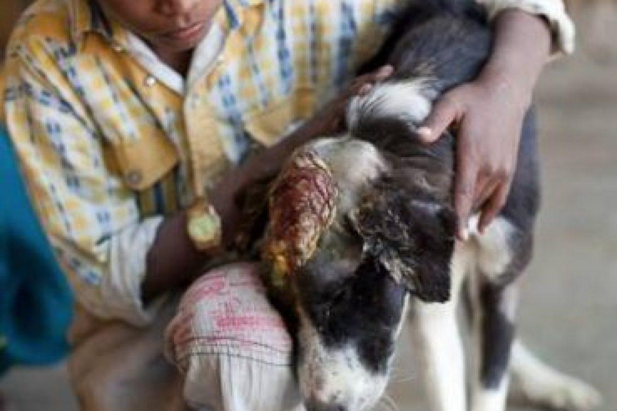 Y luego a curar su infección. Foto:vía Facebook/Animal Aid Unlimited. Imagen Por: