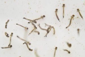 Porque se identificó por primera vez en 1947 en los bosques de Zika, en Uganda. Foto:AFP. Imagen Por: