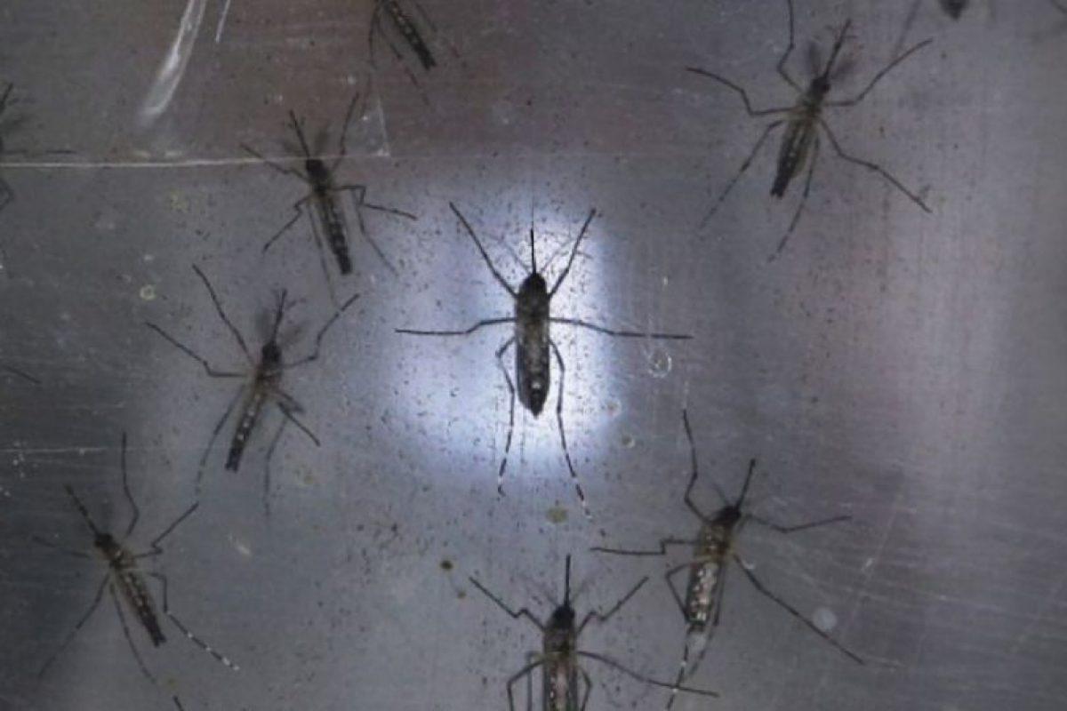 Así se ven los mosquitos del virus del Zika. Foto:Getty Images. Imagen Por: