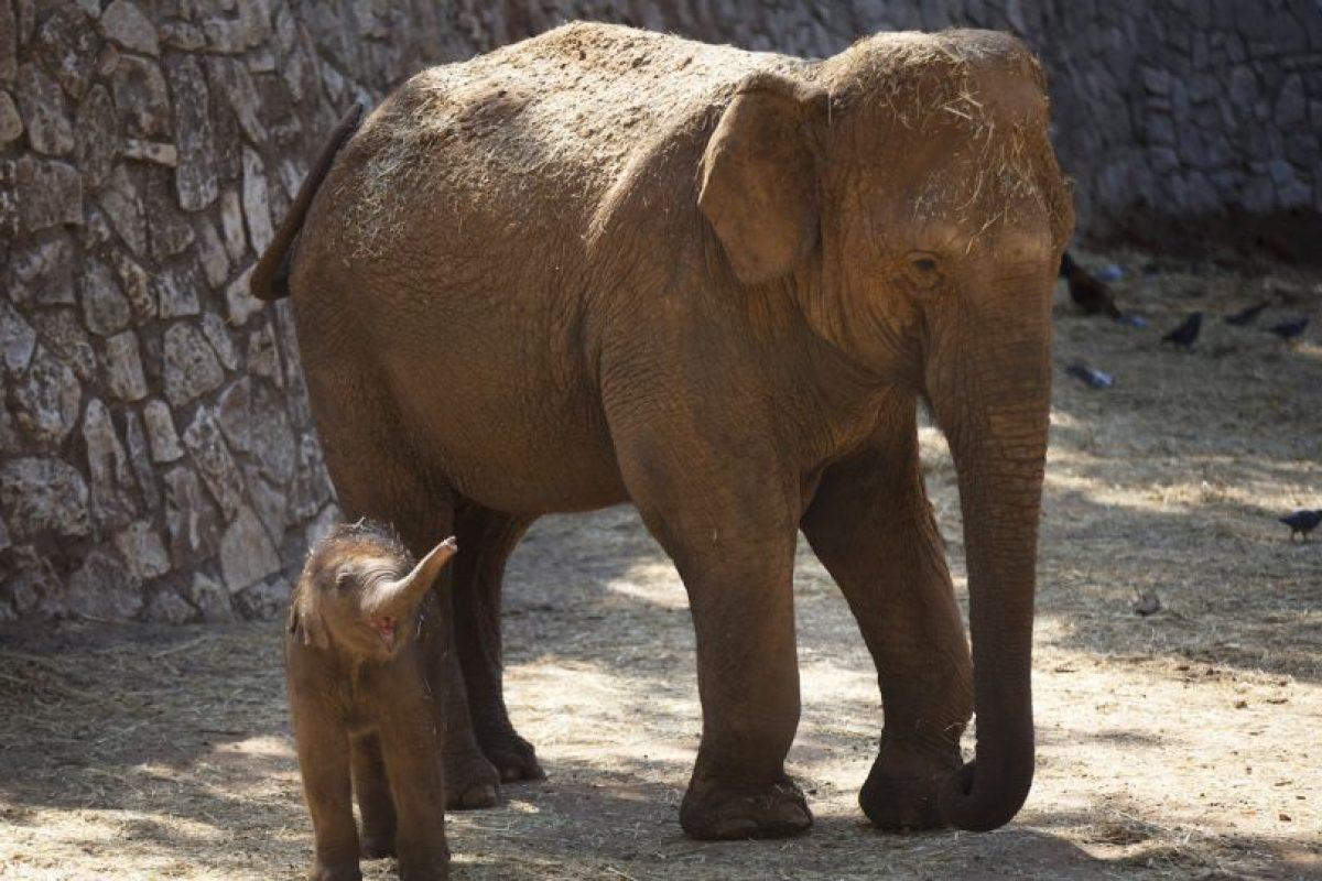 El peso al nacer usualmente es 120 kilógramos (53 libras) Foto:Getty Images. Imagen Por: