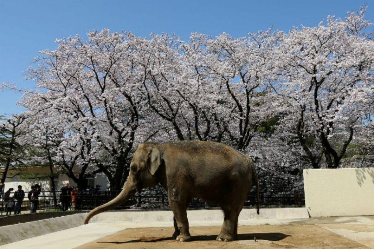 Investigaciones suelen afirmar que el elefante tiene buena memoria. Foto:Getty Images. Imagen Por: