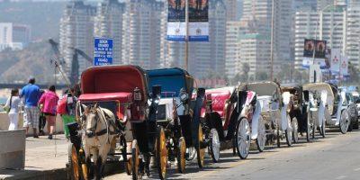 Municipio de Viña del Mar presentó querellas por maltrato animal a caballos de victorias