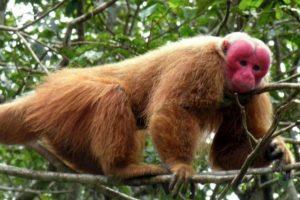 9. Uakarí. Foto:Wikipedia. Imagen Por: