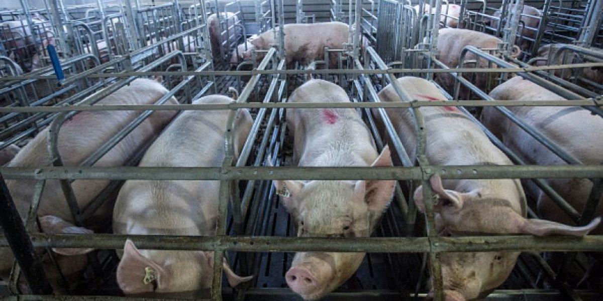 Contraloría ordenó a Municipalidad de Talagante clausurar planta de cerdos