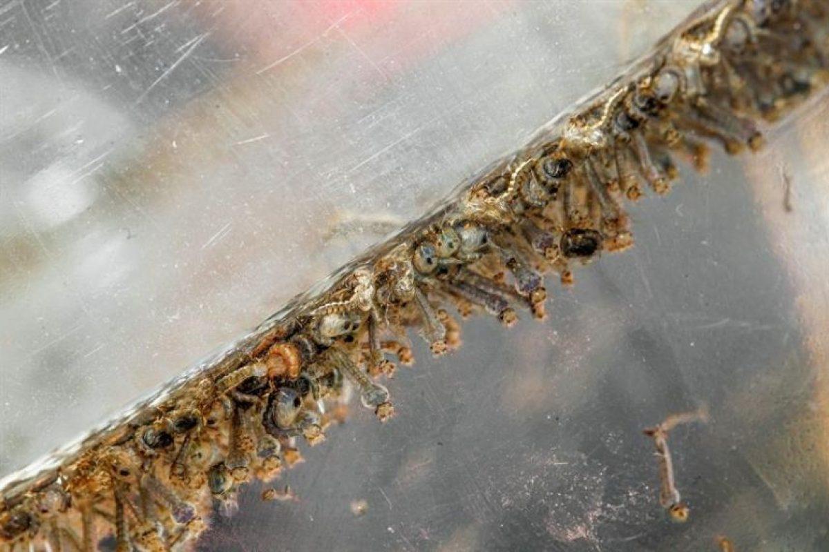 Larvas del mosquito aedes en laboratorio. Foto:Efe