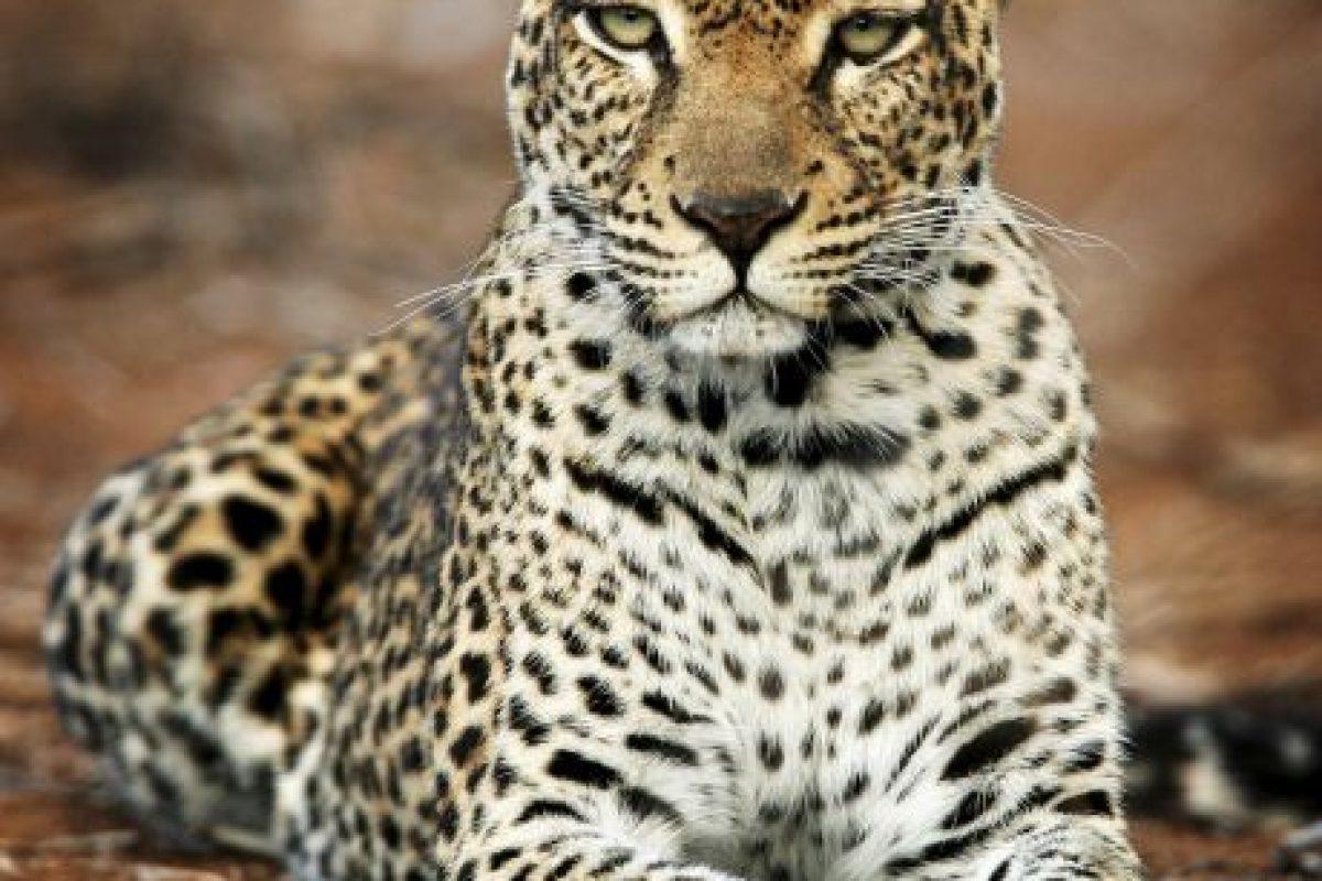 Están amenazados especialmente en las regiones fuera de África. Foto:Getty Images. Imagen Por: