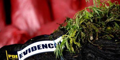 Región de Valparaíso: PDI incautó 3.078 plantas de marihuana en Colliguay