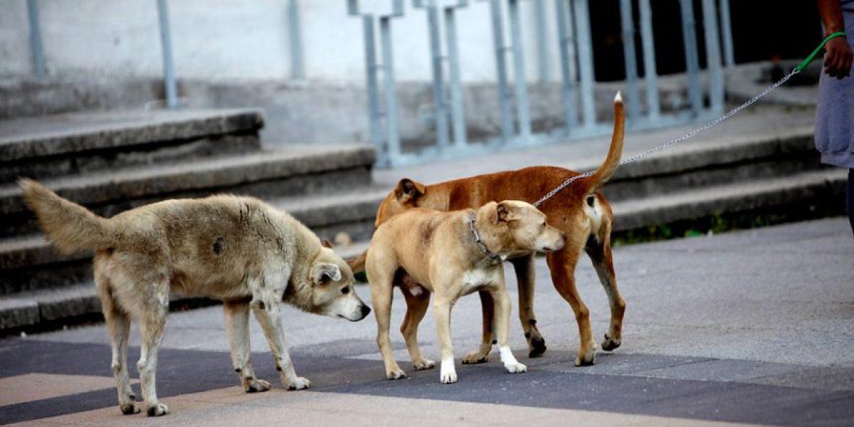 Viña: llevará a la Justicia a la municipalidad tras sobrevivir a feroz ataque de perros