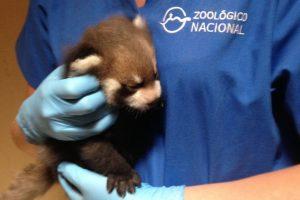 El primer panda rojo nacido en Chile el 25 de diciembre de 2015. Hijo de Kouta y Lily, dos ejemplares donados a nuestro país por el gobierno japonés. Foto:Gentileza Minvu. Imagen Por: