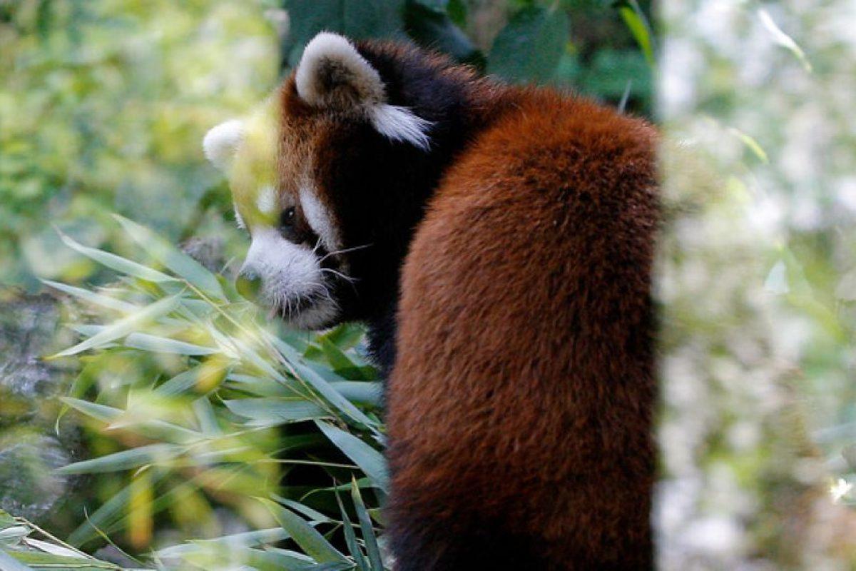 Este es Kouta, el padre del primer panda rojo nacido en Chile. Foto:Aton Chile. Imagen Por: