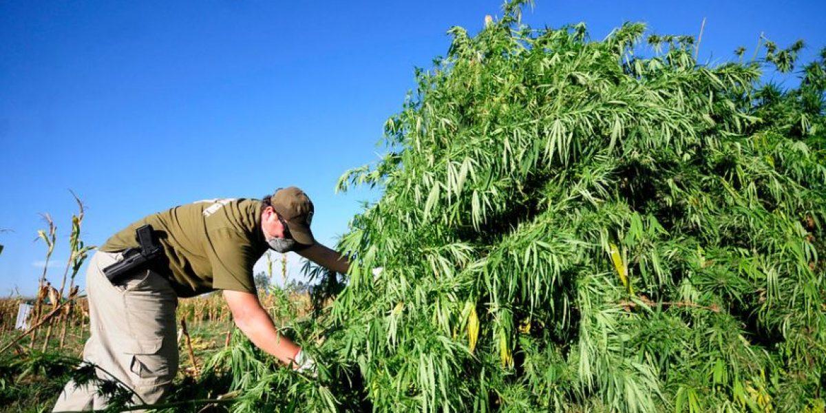 Laguna Verde: detienen a mujer que tenía 1.700 plantas de marihuana