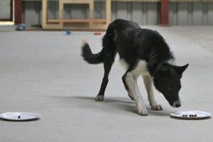 El Test de IQ para perros fue ideado por los investigadores británicos de la Escuela de Economía de Londres y la Universidad de Edimburgo Foto:Angela Driscoll/Kinloch Sheepdogs