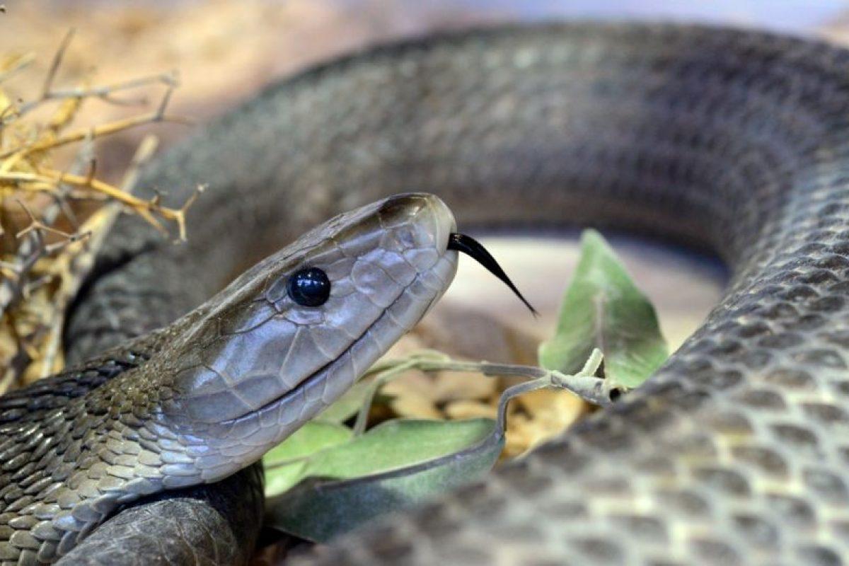 La mamaba negra llamada así por el color del interior de su boca. Es considerada como la serpiente más mortal del mundo, de acuerdo con National Geographic Foto:Vía Flickr. Imagen Por: