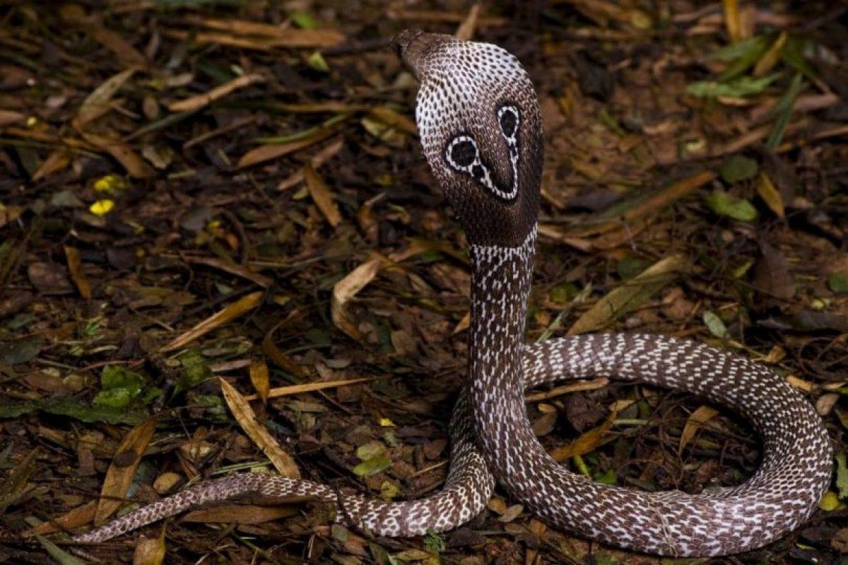 La cobra de anteojos provocar una de las muertes más inmediatas en seres humanos. Foto:Vía wesapiens.org. Imagen Por: