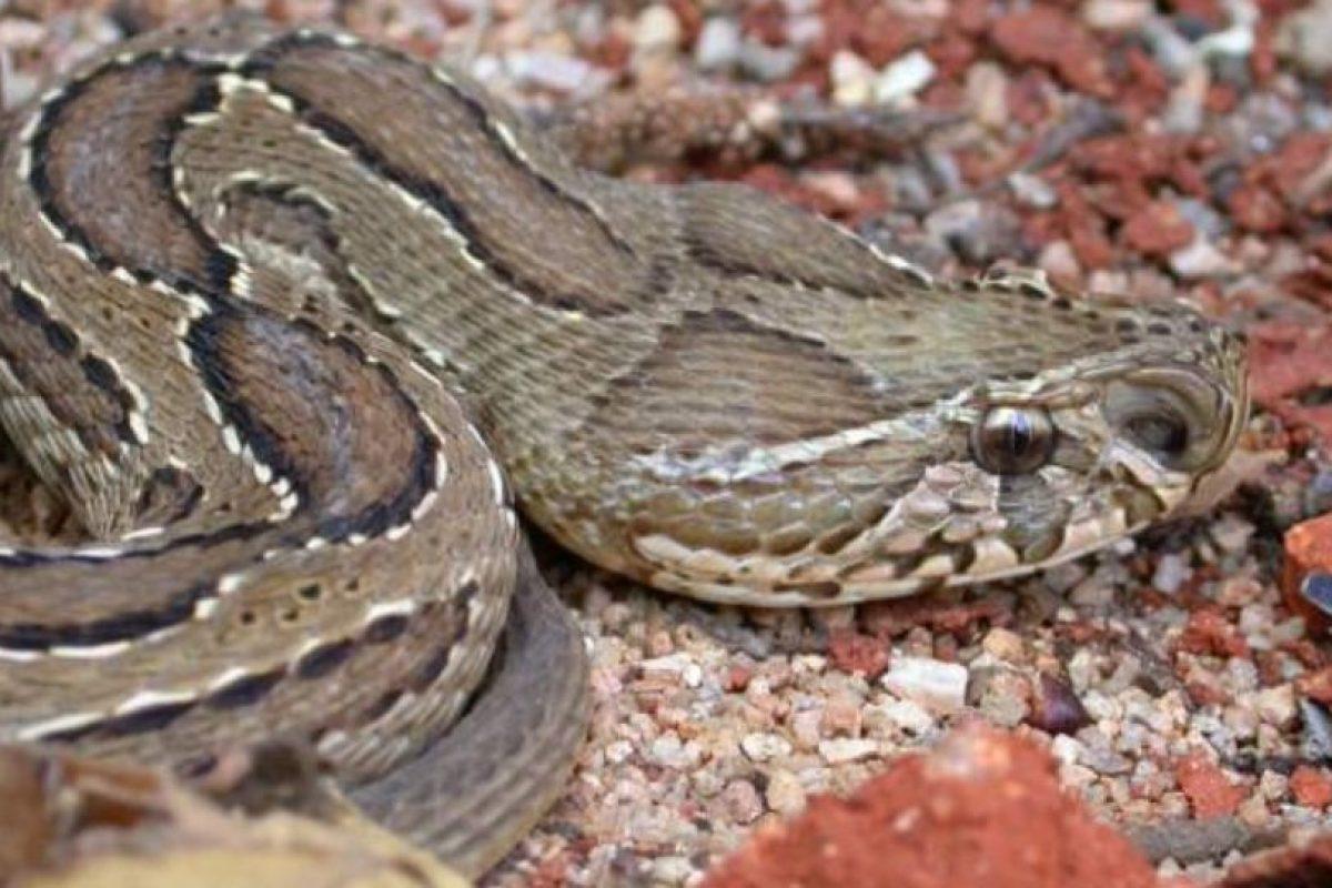 Al igual que la víbora de Rusell, la cual habita en Asia Foto:Wikipedia.org. Imagen Por: