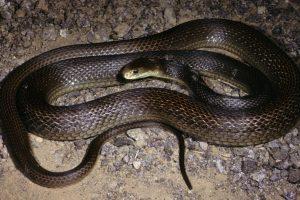 La serpiente Taipan es de origen australiano Foto:Wikipedia.org. Imagen Por: