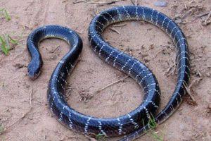 La serpiente Krait solo se encuentra en Asia. Foto:lareserva.com. Imagen Por:
