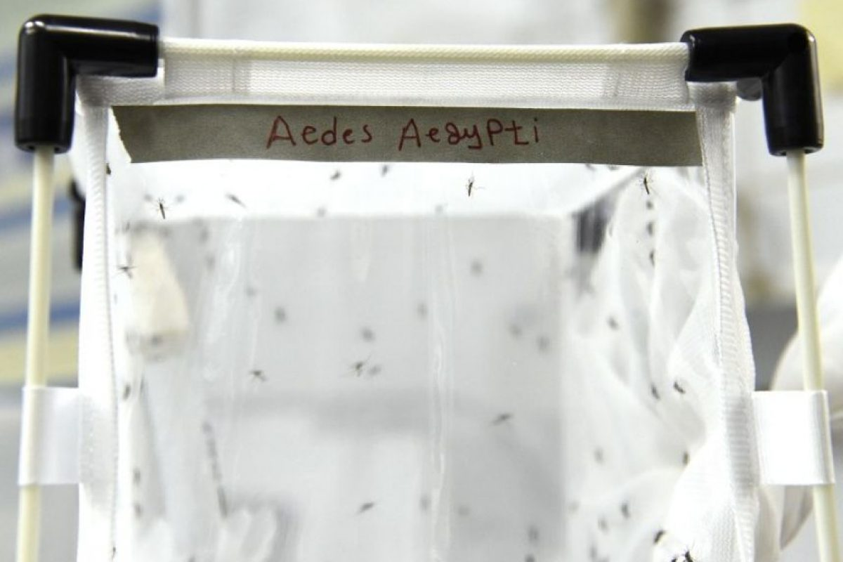Esta enfermedad es causada por un virus transmitido por mosquitos del género Aedes. Foto:AFP. Imagen Por: