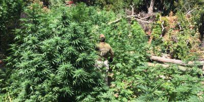 Incautan 2.642 plantas de marihuana en Petorca y Renaico