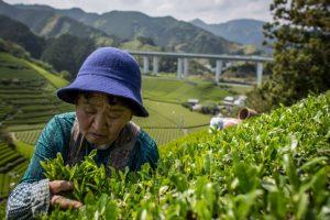 Té verde se obtiene de la planta Camellia Sinensis Foto:Getty Images. Imagen Por: