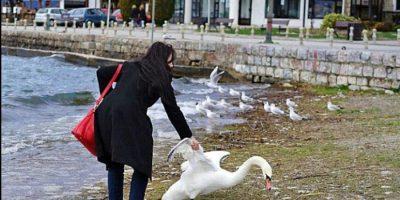 Ahora fue un cisne el que murió porque turista quería tomar un selfie
