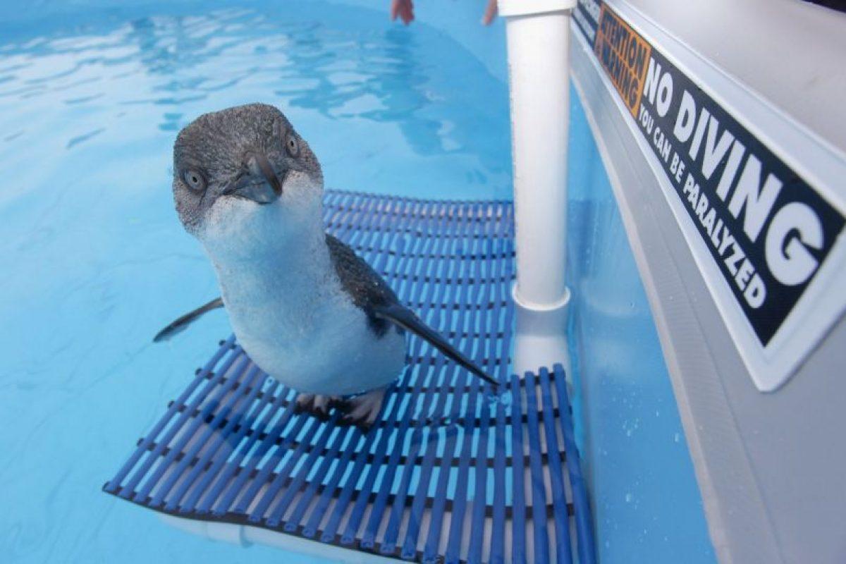 Datos que deben de conocer sobre los pingüinos Foto:Getty Images. Imagen Por: