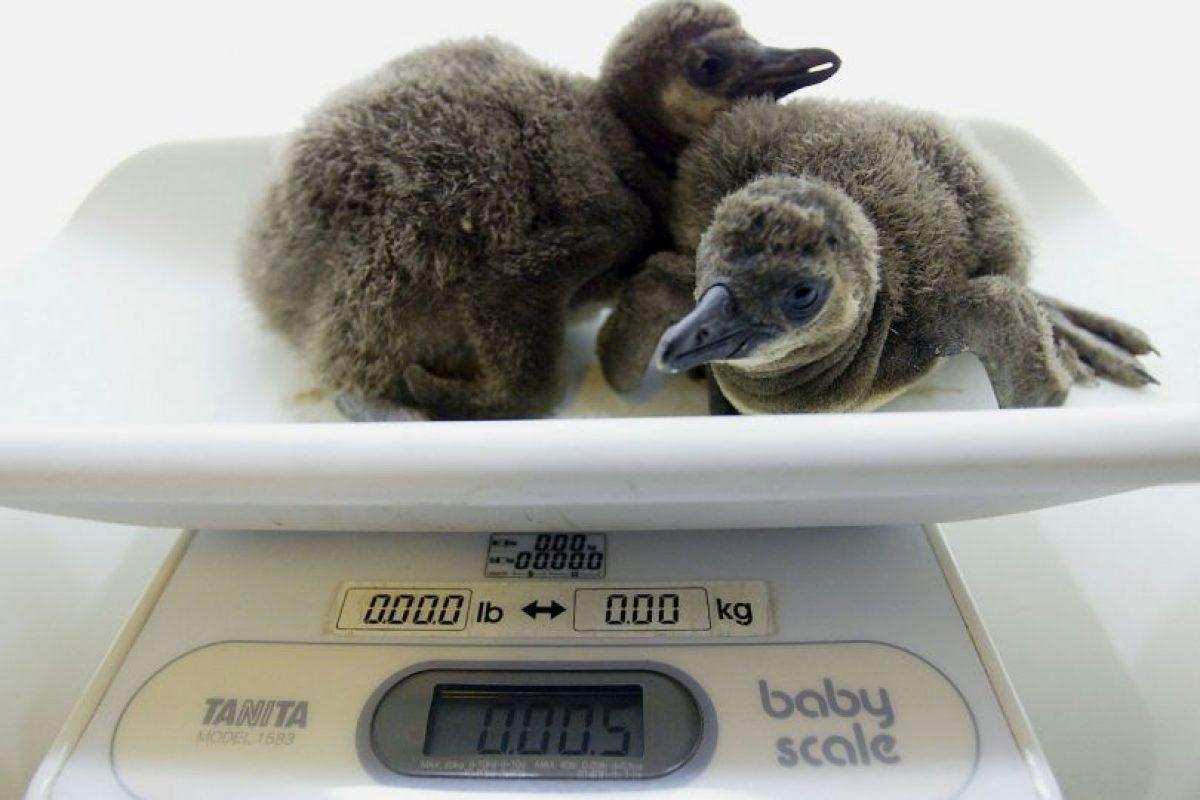 Se conocen 17 especies de pingüinos en el mundo Foto:Getty Images. Imagen Por: