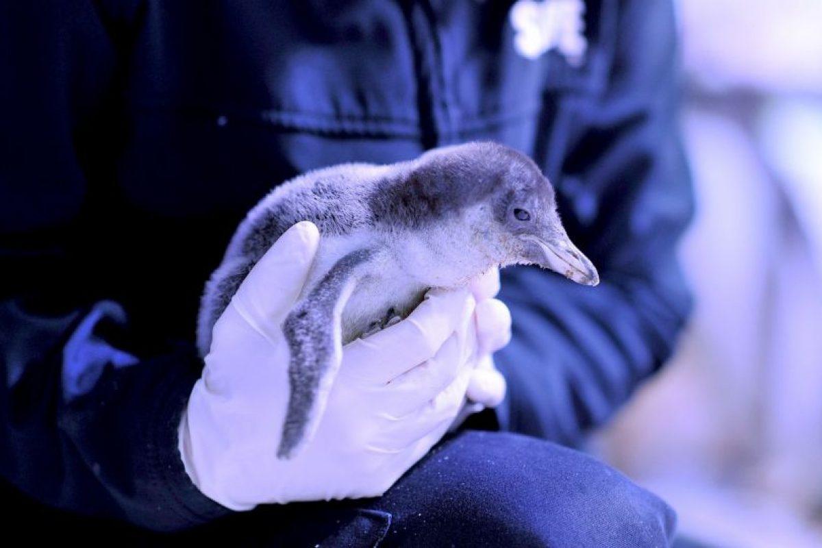 El pingüino azul es el más chico del mundo. Información: Muy Interesante. Foto:Getty Images. Imagen Por: