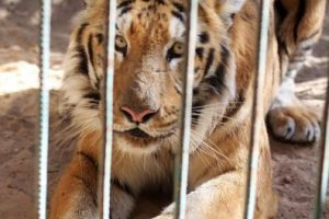 La ONG animalista Four Paws está buscando la manera de salvar a los animales que quedan vivos. Foto:AFP. Imagen Por: