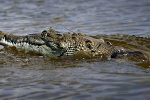 Cocodrilos Foto:Getty Images. Imagen Por: