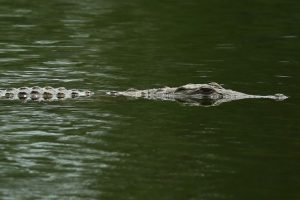 Los cocodriles son una familia de reptiles semiacuáticos. Foto:Getty Images. Imagen Por: