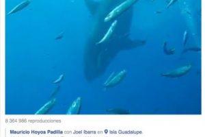 Este tiburón blanco llamó la atención luego de que el experto en su especie Mauricio Hoyos Padilla, lo publicara en la red social. Foto:Vía Facebook.com/amaukua. Imagen Por: