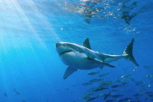 """El animal fue clasificado como """"el mayor tiburón blanco jamás grabado"""". Foto:Vía Facebook.com/amaukua. Imagen Por:"""