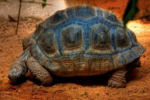 Tortuga gigante de Gran Canaria Foto:Flickr. Imagen Por: