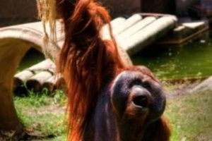 Orangután Foto:Wikimedia. Imagen Por: