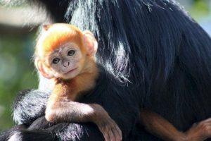 Se han vuelto de los más raros en el mundo debido a la caza furtiva y la destrucción de su hábitat. Foto:Vía Facebook.com/tarongazoo. Imagen Por: