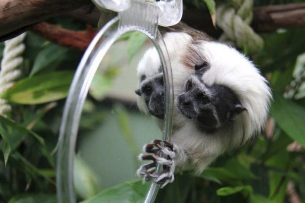 Su blanco pelaje es comparado con el algodón. Foto:Vía Facebook.com/tarongazoo. Imagen Por: