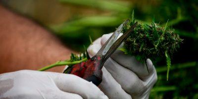 Tratamiento en base a cannabis disminuye en un 39% ataques de epilepsia