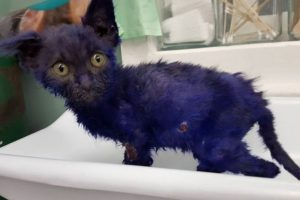 """""""Pitufo"""" fue rescatado cuando tenía solo dos meses, por la fundación Nines Lives. Foto:Vía facebook.com/NineLivesFoundation. Imagen Por:"""