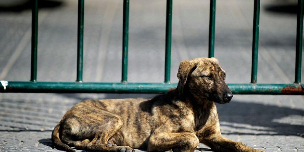 Maratón de Santiago 2016: organización aplicará plan de protección para perros callejeros