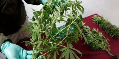 Detienen a sujeto que cultivaba 134 plantas de cannabis sativa en el patio de su casa