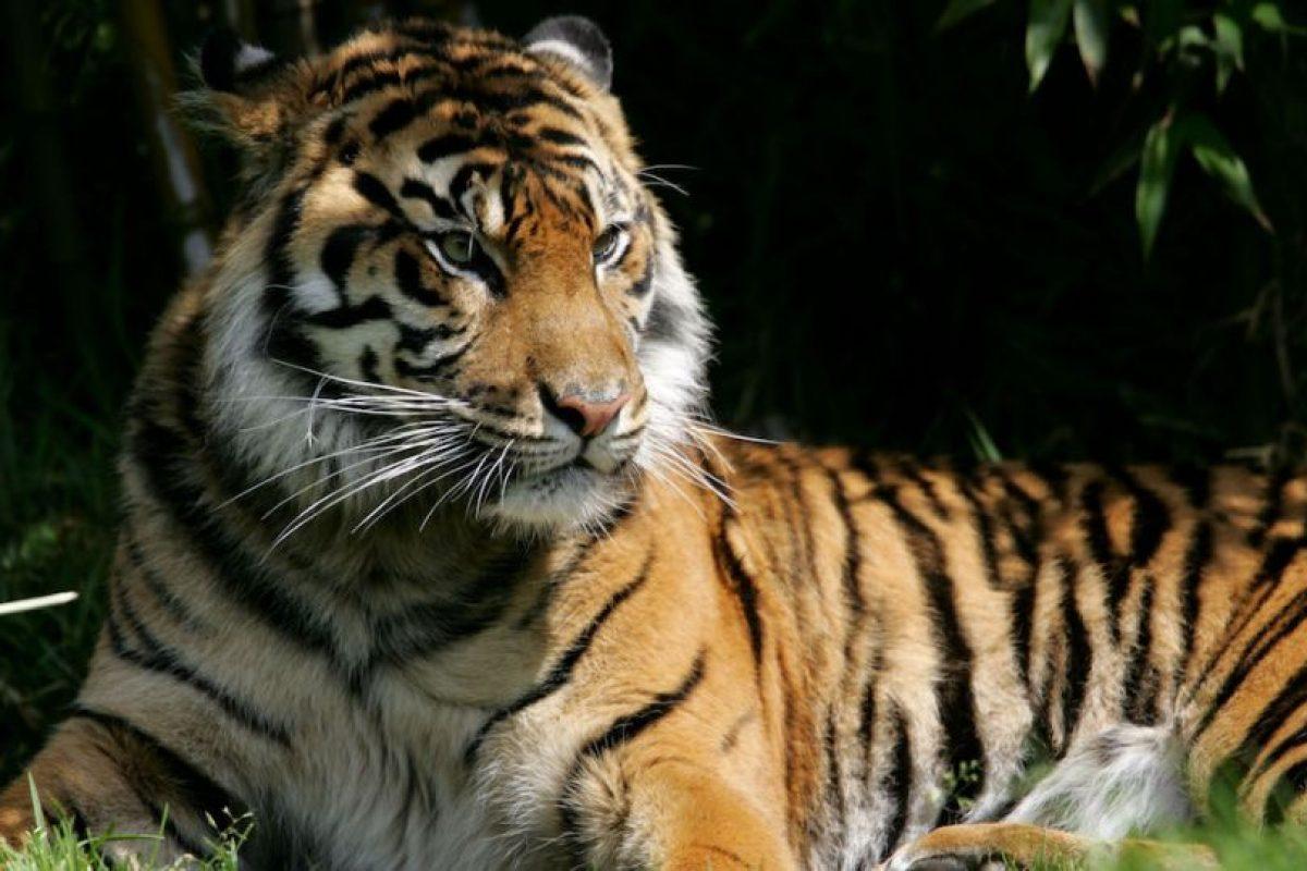 4. En el siglo XX se extinguieron tres subespecies de tigres Foto:Getty Images. Imagen Por: