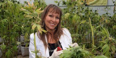 Fundación Daya inició la mayor cosecha de cannabis medicinal de Latinoamérica