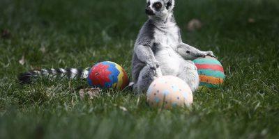 Acá también disfrutaron: animales del Buin Zoo recibieron sus huevitos de Pascua