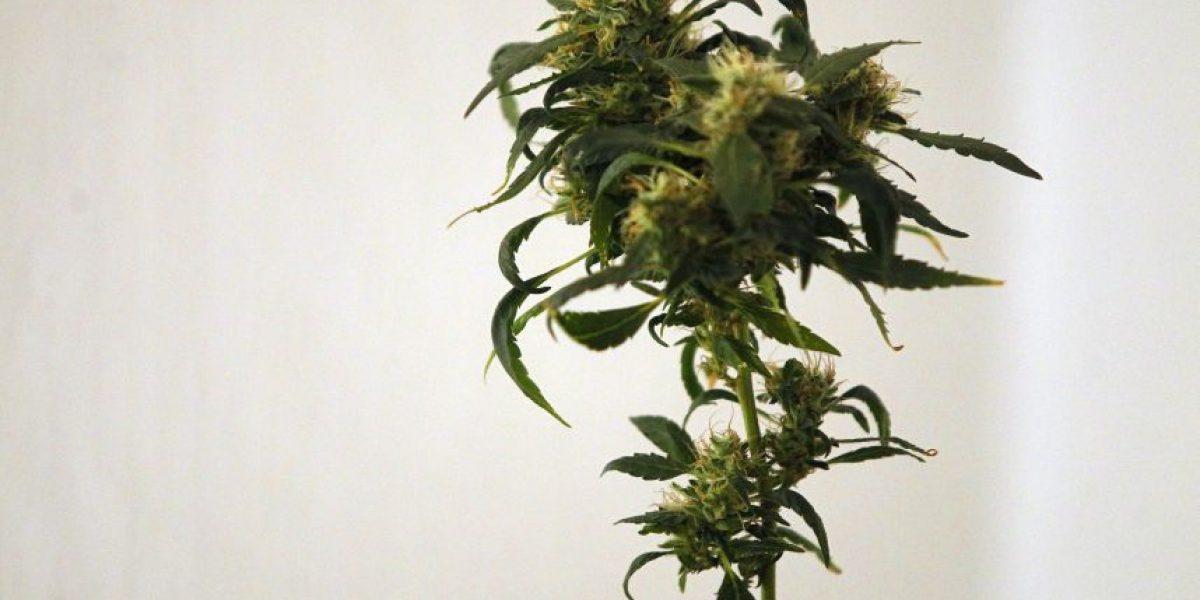 Corte Suprema: No se pueden decomisar plantas de marihuana sólo por tenencia