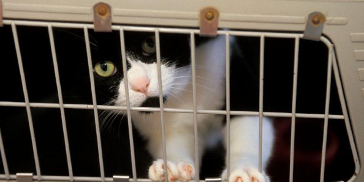 Estudio asegura que parásito que portan los gatos influye en el enojo de los humanos